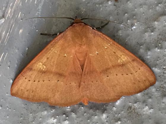 Rustic-colored, quarter-sized moth - Panopoda repanda