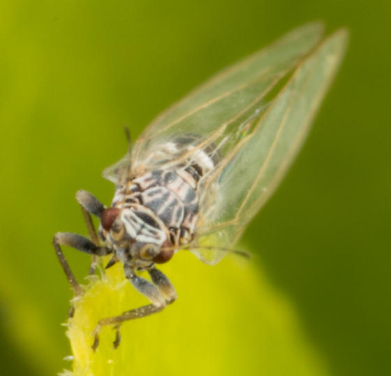 Prunus Psyllid - Bactericera cockerelli - female