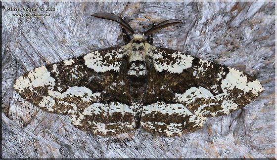 Phaeoura quernaria  - Phaeoura quernaria - male