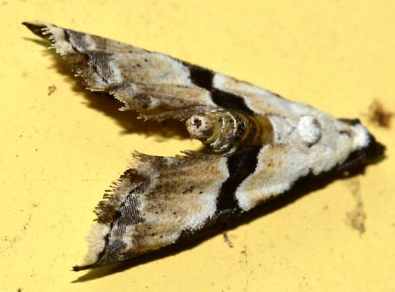 V-winged Sphinx Moth? - Nigetia formosalis