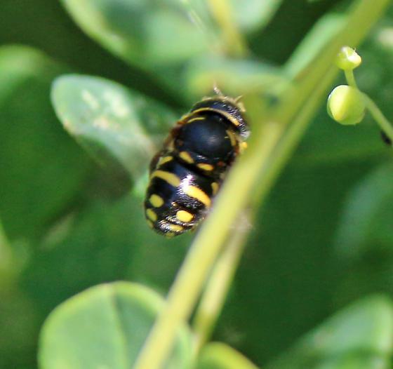 Megachilidae Anthidiellum notatum notatum?  - Anthidiellum notatum