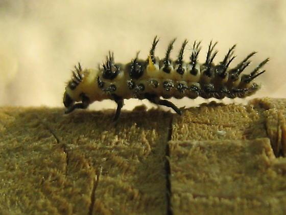 Beetle larva - Axion plagiatum