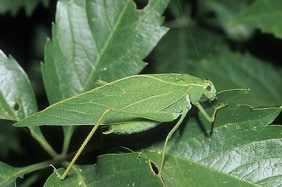 Greater Angle-wing Katydid - Microcentrum rhombifolium - male