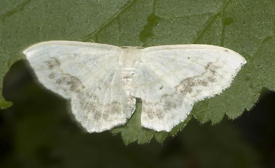 Large-lace border - Scopula limboundata