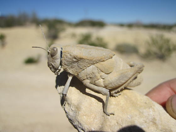 Grasshopper from Big Bend National Park area - Phrynotettix robustus - female