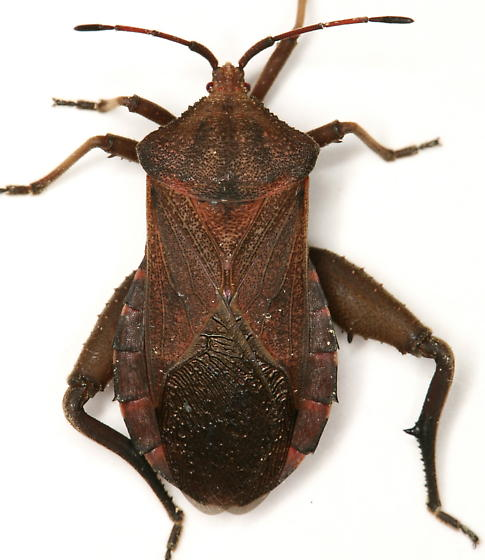 Piezogaster calcarator (Fabricius) - Piezogaster calcarator