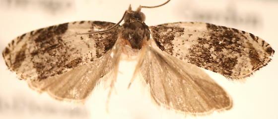 Olethreutes fasciatana - male