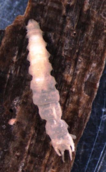 Oreogeton larva - Oreogeton