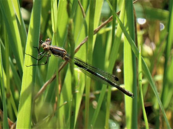 I think this is another Black Spreadwing - Lestes stultus