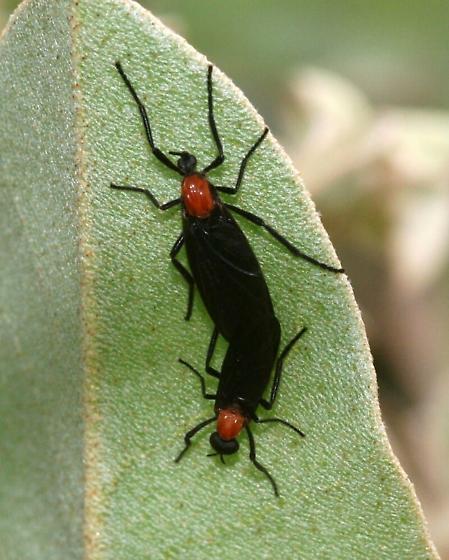 Lovebugs - Plecia nearctica - male - female