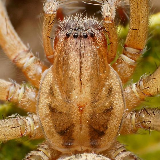 Carapace and eyes - Eratigena agrestis - female