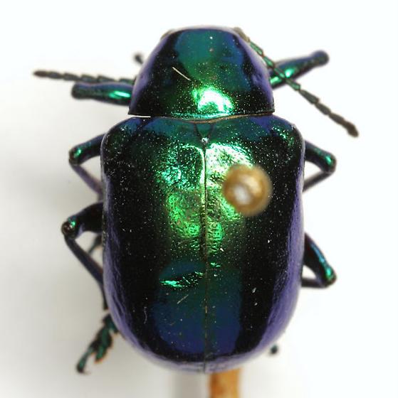 Eumolpus robustus (Horn) - Eumolpus robustus - male
