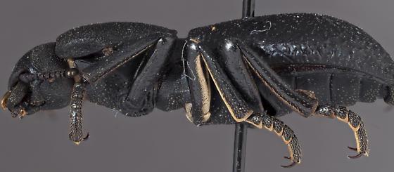 Iron clad beetle - Zopherus