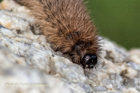 brown fuzzy caterpillar