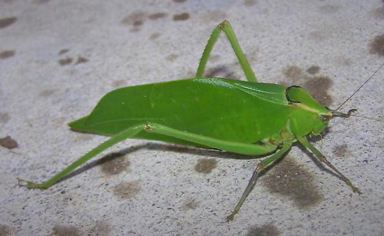 Stilpnochlora couloniana - female