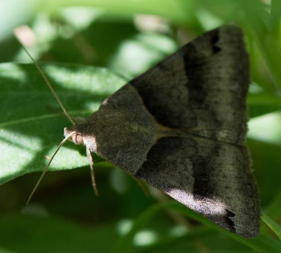 Forage Looper Moth or? - Caenurgina