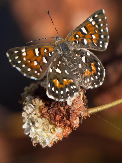 Butterfly - Apodemia virgulti
