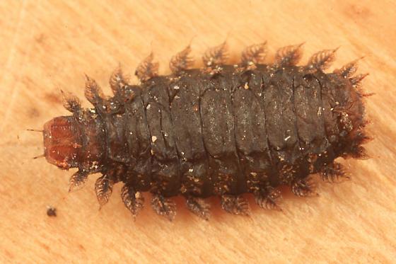 Fanniidae larva - Fannia