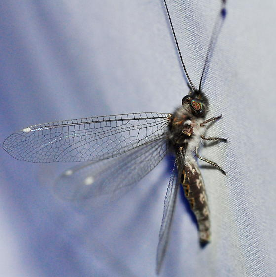 Four-spotted Owlfly - Ululodes quadripunctatus - female