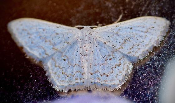 Volusia County, FL, Moth - Idaea tacturata