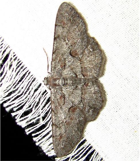 Iridopsis vellivolata - Hodge's #6582 - Iridopsis vellivolata
