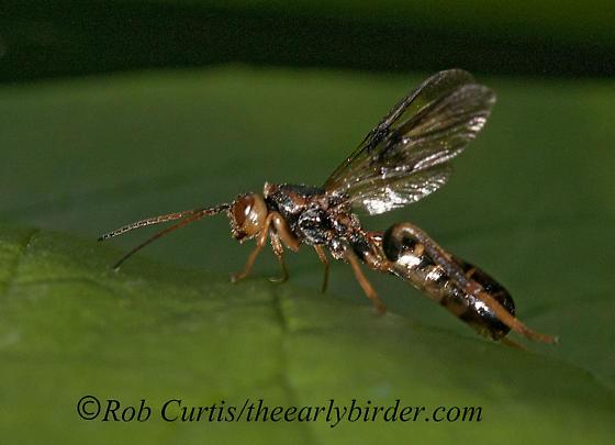 3016388 wasp - Ibalia anceps