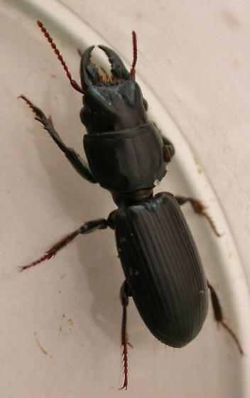 Black Beetle with pincers - Scarites subterraneus