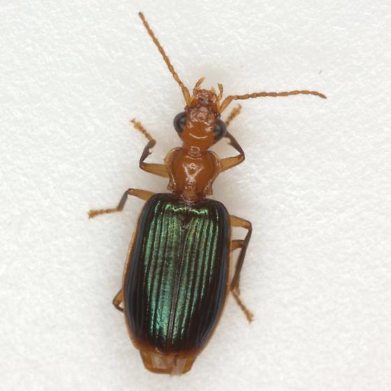 Onota angulicollis (Reiche) - Onota angulicollis