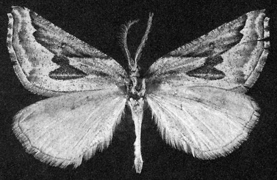 Plataea californiaria in Rindge 1976 - Plataea californiaria - male