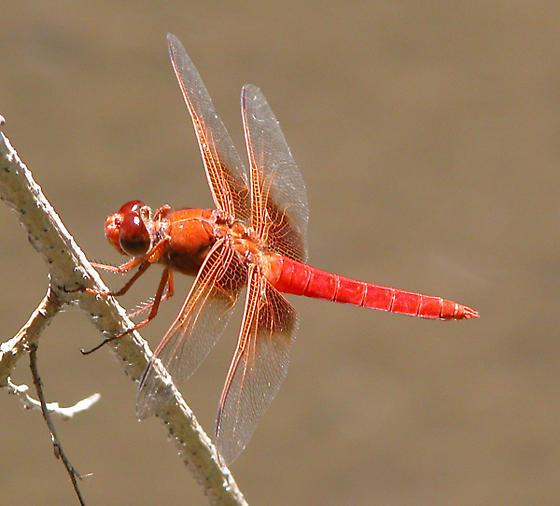 Libellula croceipennis - male