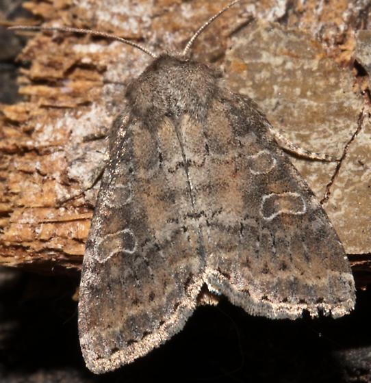 Moth ID - Parastichtis suspecta