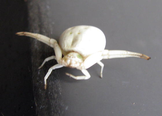 Crab spider? - Misumenoides formosipes