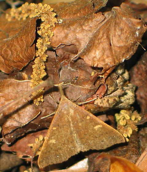 Renia species - Renia - female