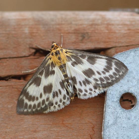 Magpie moth - Anania hortulata