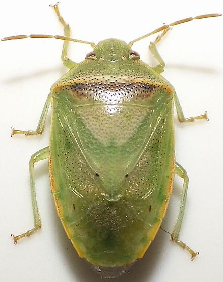 Piezodorus guildinii