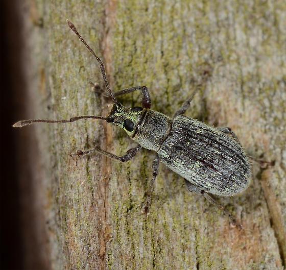 Cyrtepistomus castaneus - Asiatic Oak Weevil - Cyrtepistomus castaneus
