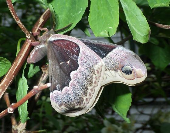 Callosamia promethea - male