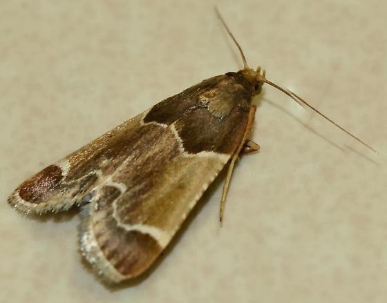 Unknown Moth - Pyralis farinalis