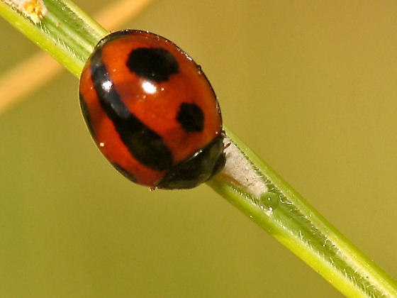 Variable lady beetle ? - Brumoides septentrionis