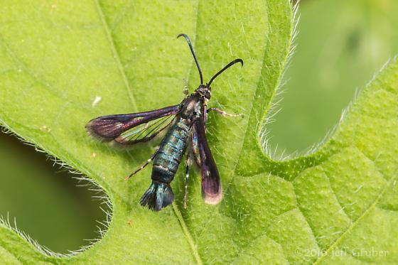 Sesiid - Osminia bicornicolis