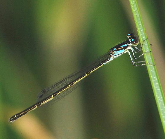 Fragile Forktail Damselfly - Ischnura posita - female