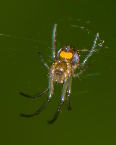 Tiny spider with three orange markings - Leucauge venusta
