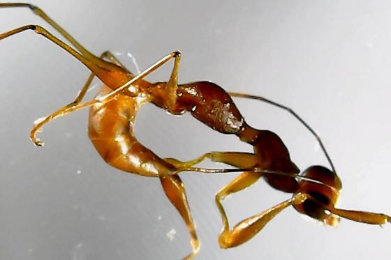 Dryinus sp. - Dryinus - female