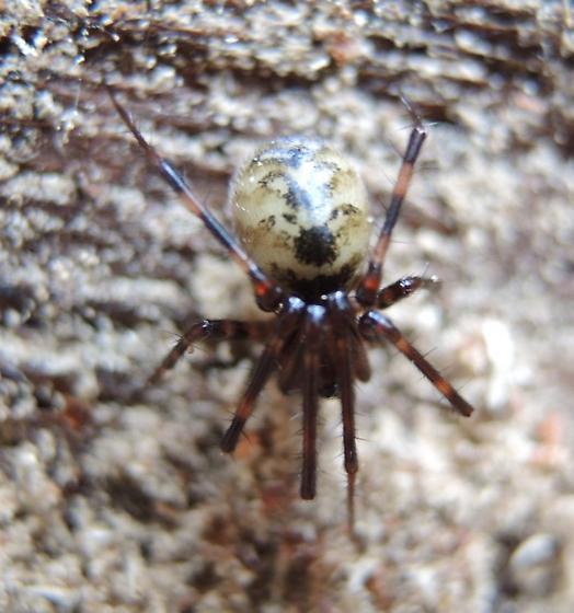 True Spider   - Pimoa