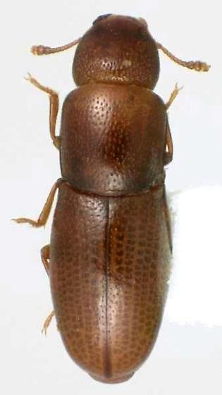 Aglenus brunneus (Gyllenhal) - Aglenus brunneus
