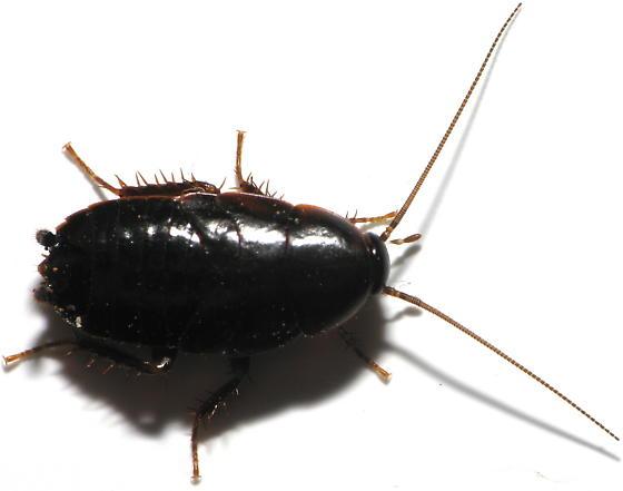 Cock roach black photo