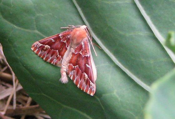 Unkown moth on cabbage leaf - Caripeta aequaliaria - male