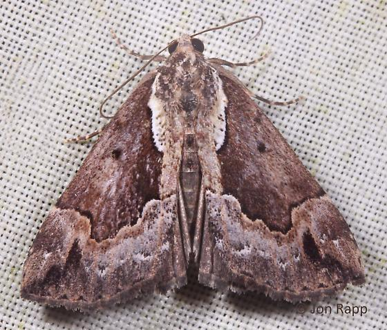Baltimore Hypena - Hypena baltimoralis
