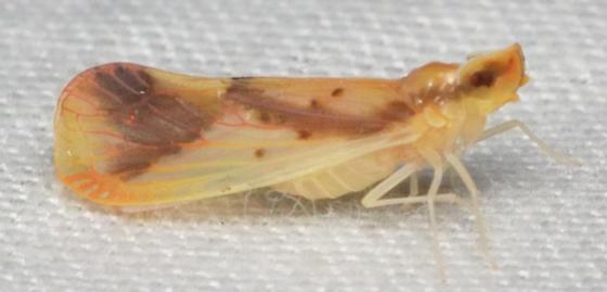 unknown planthopper - Otiocerus reaumurii