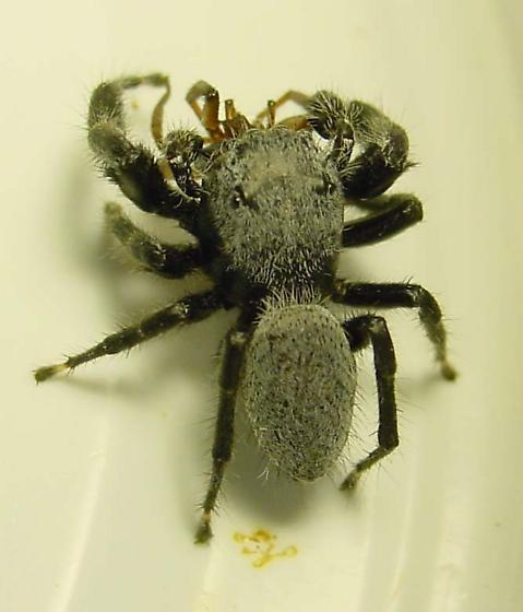 Thin Male with grey hair - Phidippus octopunctatus - male